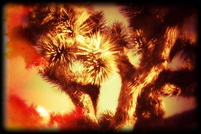 High Park Wildfire Photograph - When Heat And Drought Meets A Joshua Tree by Carolina Liechtenstein