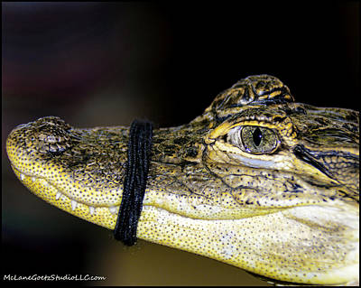 Alligator Photograph - When I Get Bigger Pay Backs Are Coming by LeeAnn McLaneGoetz McLaneGoetzStudioLLCcom