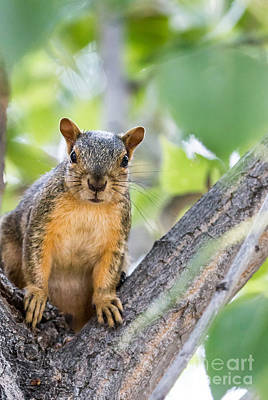 Fox Squirrel Photograph - Where Is My Peanut by Robert Bales