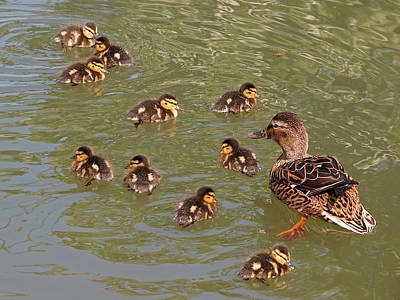 Baby Mallards Photograph - Where Is Number 11 by Gill Billington