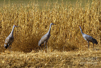 Crane Photograph - Where Is The Corn by Mike  Dawson