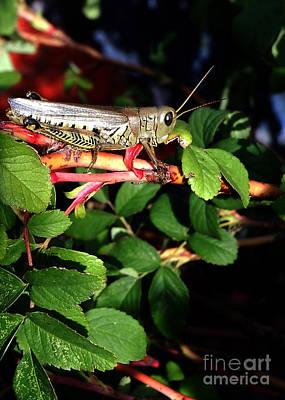 Grasshopper - Close Up Art Print
