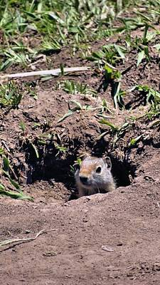 Squirrel Photograph - Ground Squirrel by Dan Sproul