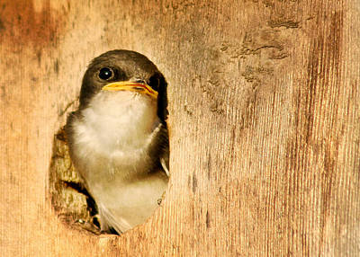 Swallow Photograph - Wheres Dinner by Jean Noren