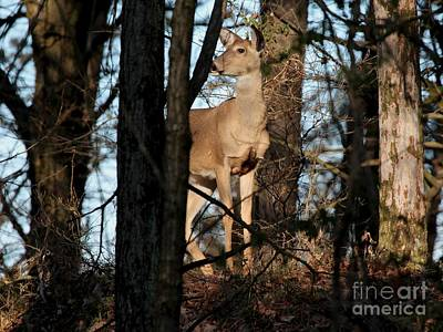 Photograph - Whie-tailed Deer by Jack R Brock