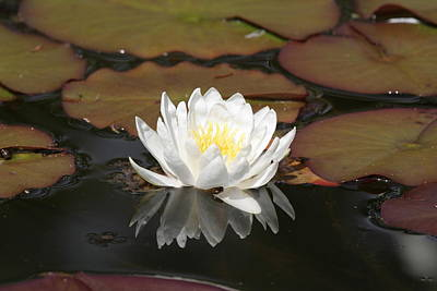 Photograph - White Water Lily by Liz Marr