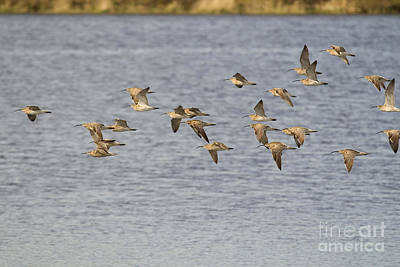 Europe Photograph - Whimbrel In Flight by Liz Leyden
