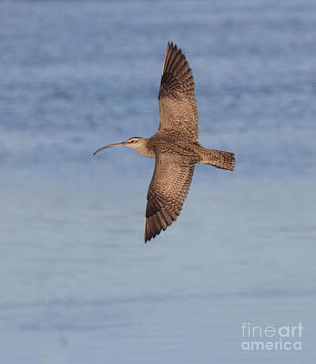 Whimbrel In Flight Art Print by Ruth Jolly