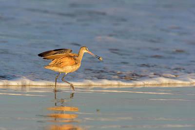 Shorebird Photograph - Whimbrel Shorebirds (numenius Phaeopus by Chuck Haney