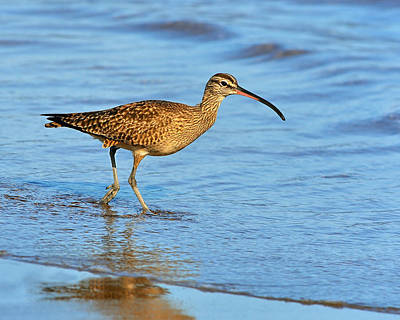 Photograph - Whimbrel  by Tony Beck