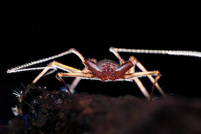 Huntsman Spider Photograph - Whip Spider by Melvyn Yeo