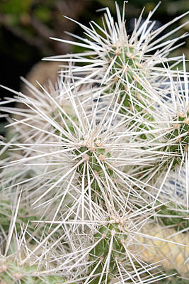 Photograph - Whipple Cholla by Michael Porchik