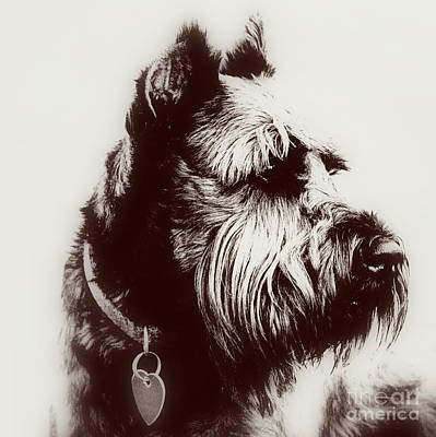 Schnauzer Art Photograph - Whiskers by Mickey Harkins