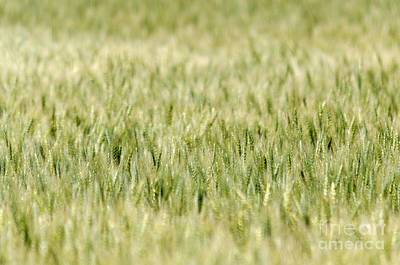 Photograph - Whispers In The Wheat by Dee Cresswell