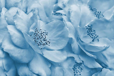 Photograph - Whispers Of Blue Roses by Jennie Marie Schell