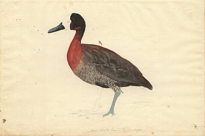 1794 Photograph - Whistling Duck by Natural History Museum, London