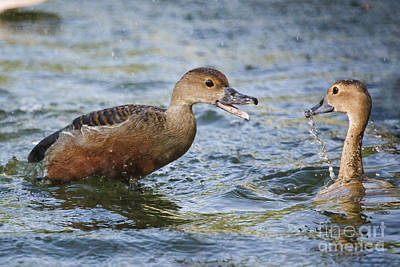 Photograph - Whistling Ducks by Ronald Lutz