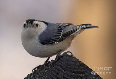 Photograph - Whit Breasted Nuthatch 3 by Sandra Clark