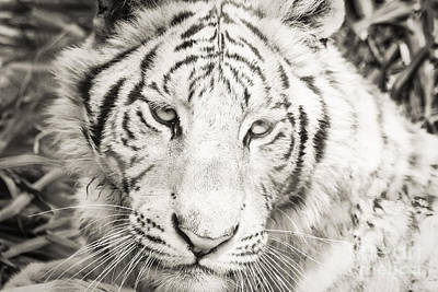 Photograph - White Tiger by Vincent Bonafede