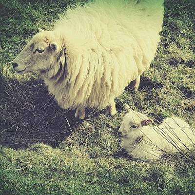 Sheep Photograph - #white &  #fluffy ... #sheep  #lamb by Alexandra Cook