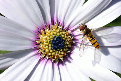 Photograph - White African Daisy Marmalade Fly by Scott Lyons