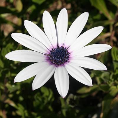 Osteospermum Photograph - White African Daisy by Tracey Harrington-Simpson
