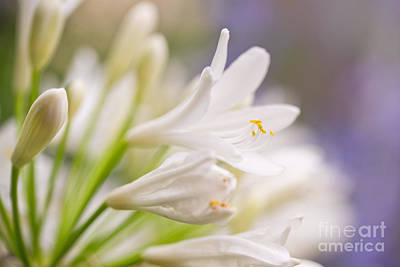 Lilies Photos - White agapanthus by Delphimages Photo Creations