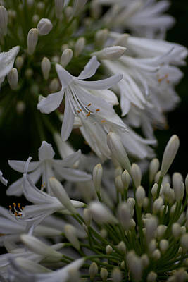 Photograph - White Agies by Carole Hinding
