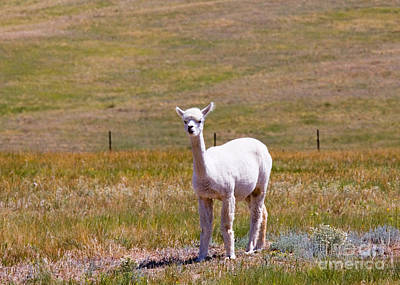 Steven Krull Royalty-Free and Rights-Managed Images - White Alpaca by Steven Krull