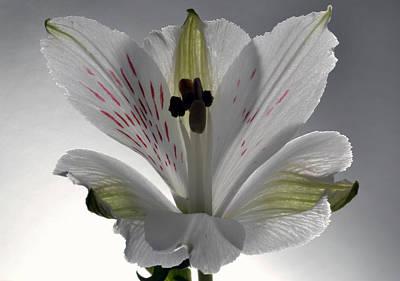 White Alstroemeria Original