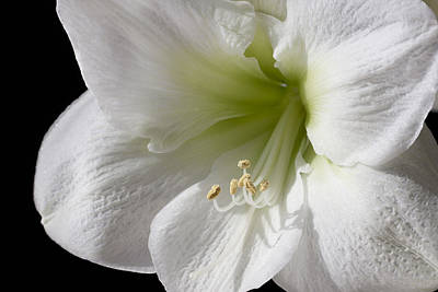 White Amaryllis Art Print by Adam Romanowicz