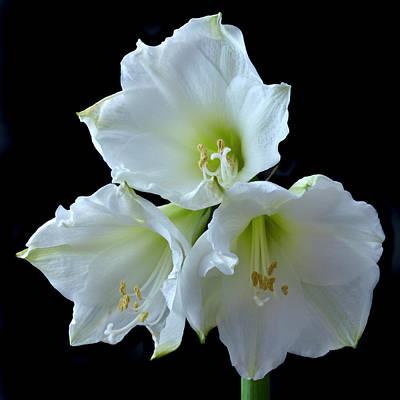 White Amaryllis Original by Terence Davis