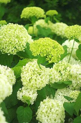 Art Print featuring the photograph White And Green Hydrangea Flowers by Suzanne Powers