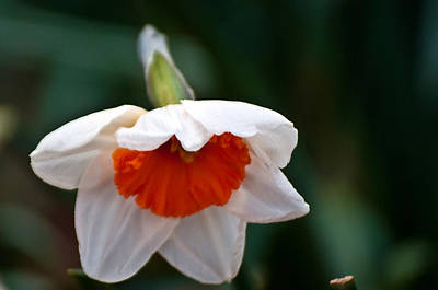 Photograph - White And Orange Daffodil by Tikvah's Hope