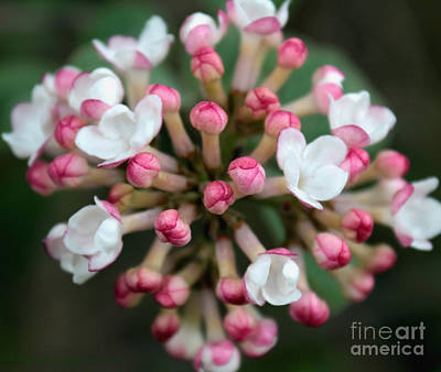 Photograph - White And Pink Blossom by Gena Weiser