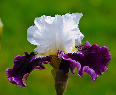 Photograph - White And Purple Iris by Tikvah's Hope