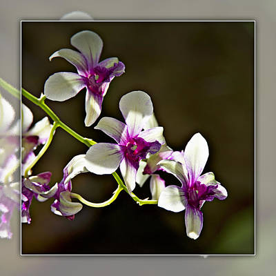 Photograph - White And Purple Orchids 1b by Walter Herrit