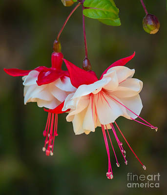 White And Red Fuchsia Art Print