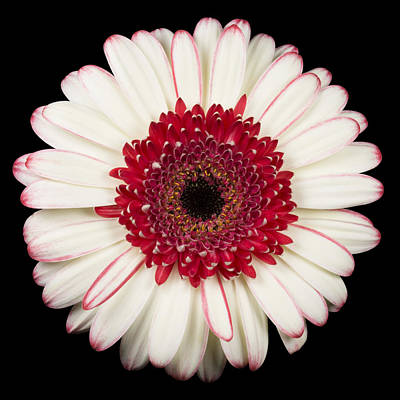 Photograph - White And Red Gerbera Daisy by Adam Romanowicz