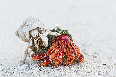 White And Red Hermit Crabs Art Print by Peter Chadwick