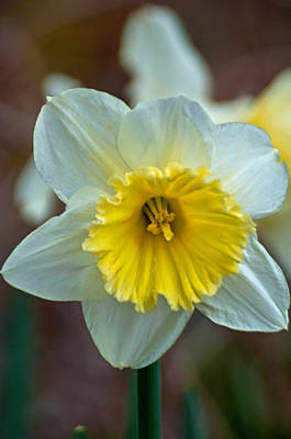 Photograph - White And Yellow Daffodil by Tikvah's Hope