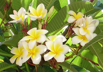 Photograph - White And Yellow Frangipani Flowers With Leaves In Background by Tracey Harrington-Simpson