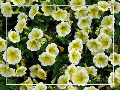 Photograph - White And Yellow Petunias by Rose Santuci-Sofranko
