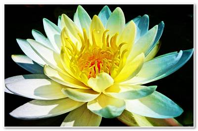 Photograph - White And Yellow Water Lily by Joan Reese