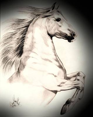 Drawing Of A Horse Drawing - White Andalusian In Vinette by Cheryl Poland