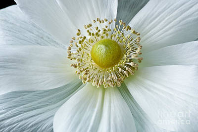 Photograph - White Anemone 2012 by Art Barker