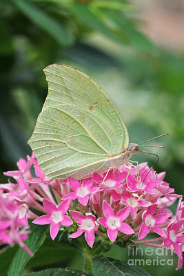 Art Print featuring the photograph White Angled Sulphur by Judy Whitton