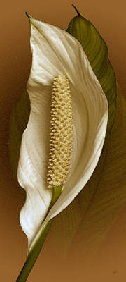 Tropical Flower Photograph - White Anthurium Flower by Ben and Raisa Gertsberg