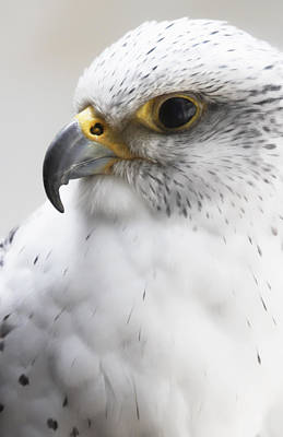 Photograph - White Arctic Falcon by Athena Mckinzie