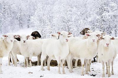 White As Snow Art Print by Thomas R Fletcher